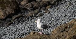 Yaquina Seagull
