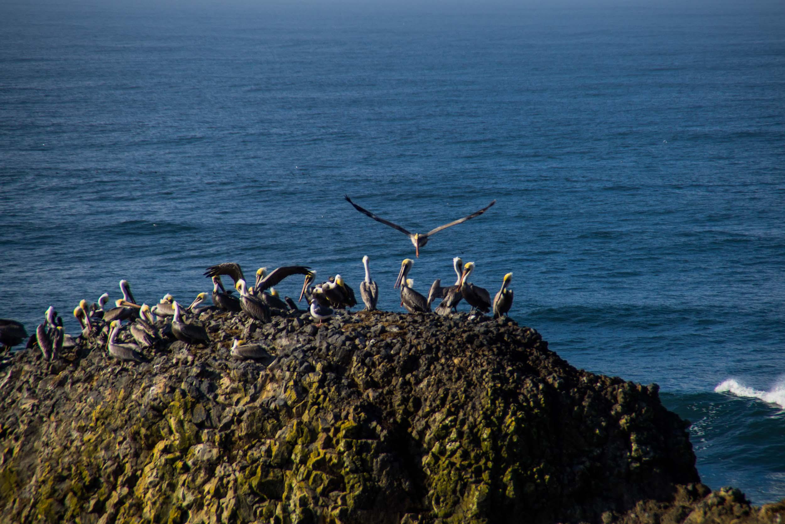 Yaquina Pelicans